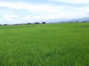 今年は雨が少なく、米農家は稲の生育が気になる様です。