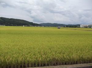 稲刈りを待つ田んぼ