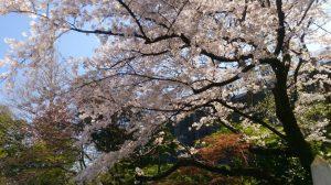 オーストラリア大使館主催の観桜会にお招き頂きました。