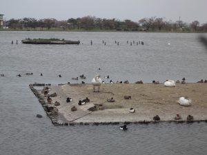 瓢湖の鴨と白鳥
