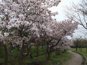 八重桜が満開でした