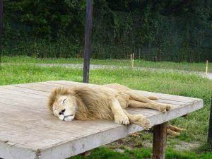 夜の数時間だけ活動するホワイトライオン。昼間はひたすらお昼寝です。