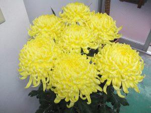 支持者から見事な菊花を頂きました
