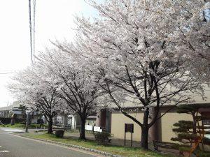 地元事務所の近くも桜が満開。