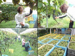 栃尾ワインを楽しむ会の皆さんとブドウの収穫をさせて頂きました。