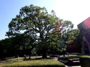 安田講堂前の大きな木