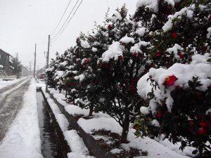 強烈な寒波の襲来で、一気に雪景色になりました